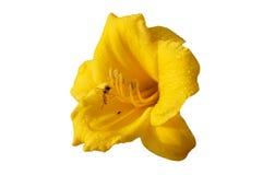 Abelha do mel que recolhe o néctar da flor amarela Fotografia de Stock Royalty Free
