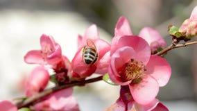 Abelha do mel que recolhe o néctar das flores do pêssego Vídeo macro filme