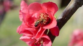 Abelha do mel que recolhe o néctar das flores do pêssego Vídeo macro video estoque