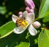 Abelha do mel que recolhe o pólen de uma flor do limão, Austrália imagens de stock