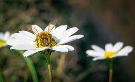 Abelha do mel que recolhe o pólen e o néctar de Daisy Chamomile fotografia de stock royalty free