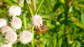 Abelha do mel que recolhe o pólen em uma flor video estoque