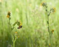 Wildflower de Fiddleneck da abelha foto de stock