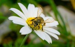Abelha do mel que recolhe o p?len e o n?ctar de Daisy Chamomile fotos de stock