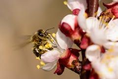 Abelha do mel que trabalha na flor do abricó Fotografia de Stock Royalty Free