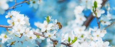 Abelha do mel que voa às flores de florescência do branco Fotos de Stock
