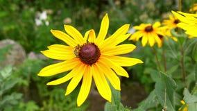 A abelha do mel recolhe o néctar de uma flor amarela video estoque