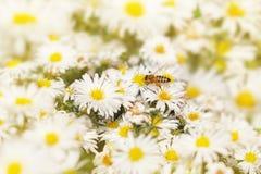 A abelha do mel recolhe o pólen dos ásteres da flor branca sob Foto de Stock