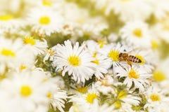 A abelha do mel recolhe o pólen dos ásteres da flor branca sob fotografia de stock royalty free