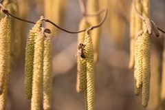 A abelha do mel recolhe o pólen em um arbusto da avelã do corkscrew na mola contra o fundo borrado imagens de stock royalty free