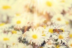 A abelha do mel recolhe o pólen do néctar das flores brancas sob o summ imagem de stock