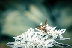 A abelha do mel recolhe o pólen na flor branca no fundo borrado azul imagem de stock royalty free