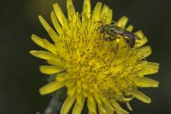 Abelha do suor de Agapostemon que poliniza uma flor fotografia de stock royalty free