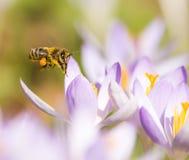 Abelha do voo que poliniza uma flor roxa do açafrão Imagens de Stock Royalty Free