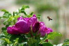 A abelha e aumentou Fotografia de Stock