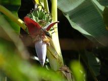 A abelha e a banana do voo florescem e Azeitona-suportaram flores birdanish da agulha do sol Imagens de Stock Royalty Free