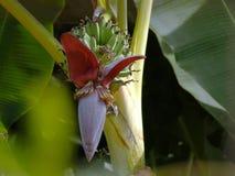 A abelha e a banana do voo florescem e Azeitona-suportaram flores birdanish da agulha do sol Foto de Stock
