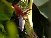 A abelha e a banana do voo florescem e Azeitona-suportaram flores birdanish da agulha do sol Foto de Stock Royalty Free