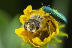 Abelha e besouro em uma flor fotos de stock royalty free