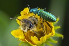 Abelha e besouro em uma flor imagem de stock royalty free