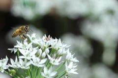 Abelha e flor Foto de Stock Royalty Free