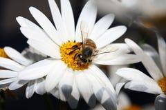 Abelha e flor Imagem de Stock