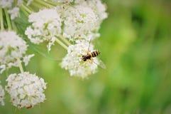 Abelha e flor Imagens de Stock Royalty Free