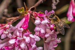 Abelha e flor Imagens de Stock