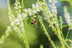 Abelha e flor Fotos de Stock Royalty Free