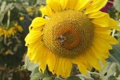 Abelha e flor Foto de Stock