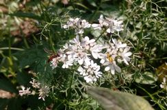 Abelha e flor Imagem de Stock Royalty Free