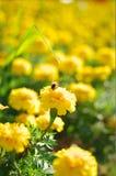 Abelha e flor Fotos de Stock