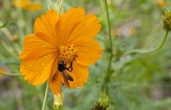Abelha e flor fotografia de stock