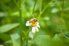 Abelha e flor branca Fotografia de Stock