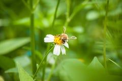 Abelha e flor branca Imagem de Stock