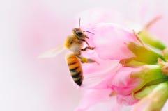 Abelha e flor de cerejeira imagens de stock