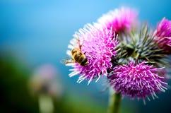Abelha e flor na montanha Foto de Stock