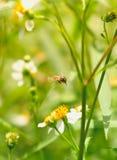 Abelha e flor que florescem no jardim Fotografia de Stock Royalty Free