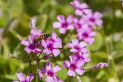 Abelha e flor roxa Fotografia de Stock Royalty Free
