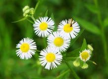 Abelha e flores Fotografia de Stock Royalty Free