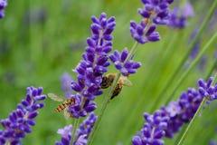 Abelha e mosca Imagem de Stock