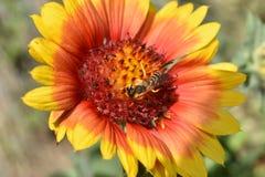 Abelha e mundo vermelho-amarelo Fotos de Stock Royalty Free