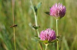 Abelha e trevo de voo no campo do verão imagem de stock