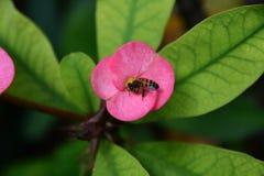A abelha e uma flor Fotos de Stock