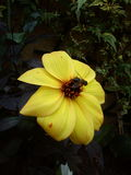 Abelha em Dahlia Flower amarela imagem de stock royalty free