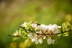 Abelha em flores Fotografia de Stock Royalty Free