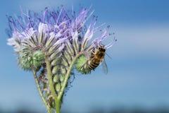 Abelha em flores Imagens de Stock Royalty Free