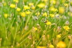 Abelha em flores amarelas Imagem de Stock Royalty Free