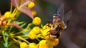 A abelha em flores amarelas fecha-se acima Foto de Stock