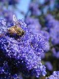 Abelha em flores azuis fotos de stock